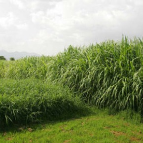 Improving livestock production and productivity: the potential of Napier grass