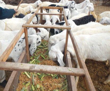 Cactus based feed ration for the improved small ruminants productivity in Chakwal District