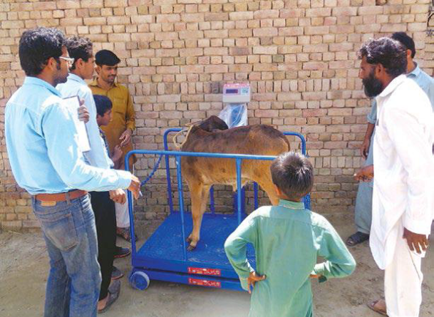 Measuring calf weight during early introduction of calf starter to enhance growth: Ahata Mukhian, District Bahawalnagar