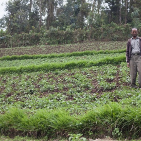 Desho and Napier grasses help Ethiopian farmers produce year-round forage