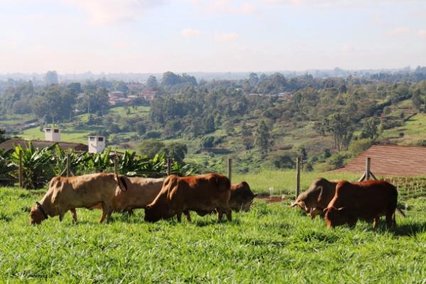 cattlegrazingonbrachiariaatilri1.jpg?w=600&h=400